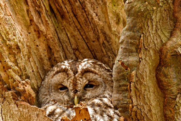 bosuil-tawny-owl-strix-aluco-20141220-1580292413558ABA05-41FA-5AD7-6DE8-655B466700F0.jpg
