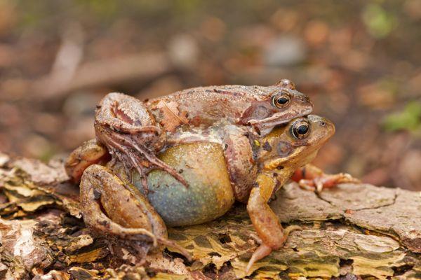 bruine-kikker-common-frog-rana-temporaria-20141220-1364663815DFDB3CE7-10E2-08BD-E33E-7929A0F0EE2B.jpg