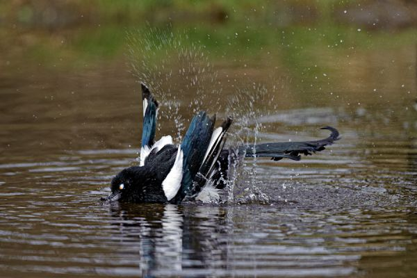 ekster-magpie-pica-pica-2-20141220-12015059305580F213-F114-9547-58A2-154BEECA1162.jpg