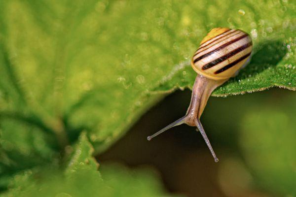 gewone-tuinslak-grove-snail-or-brown-lipped-snail-cepaea-nemoralis-1-20141220-207996277108EA2D18-26E2-24D8-5129-79BAAF828050.jpg