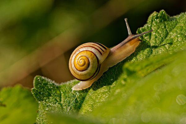 gewone-tuinslak-grove-snail-or-brown-lipped-snail-cepaea-nemoralis-20141220-10403196375A00A69A-88E0-466F-8EDD-1AE46498BC97.jpg