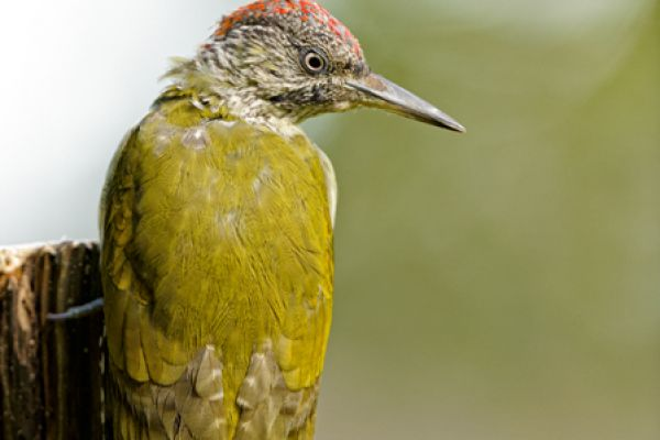 groene-specht-green-woodpecker-picus-viridus-20141220-207376823528132004-C2D7-6ACB-EE2B-276B0BBE2108.jpg