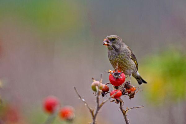 groenling-greenfinch-carduelis-chloris-1-20141220-14427256213976491E-7EA8-E61D-0FFA-443FAFAD9EDD.jpg