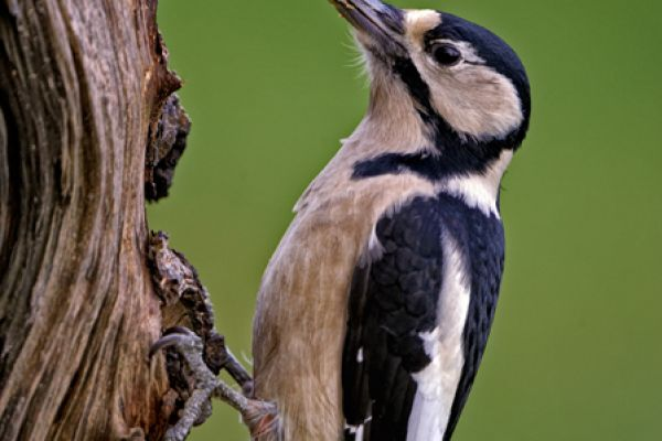 grote-bonte-specht-great-spotted-woodpecker-dendrocopos-major-20141220-17442650064628ECA6-96FB-6052-B445-A60BDF71CD13.jpg