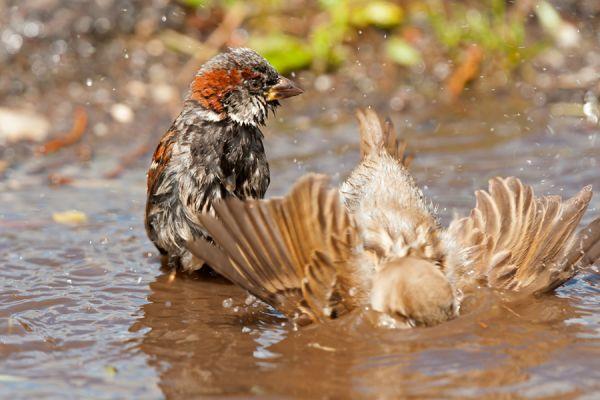 huismus-house-sparrow-passer-domesticus-20141220-14725427945B43F876-F498-F5F4-7443-ECF915D93CB4.jpg