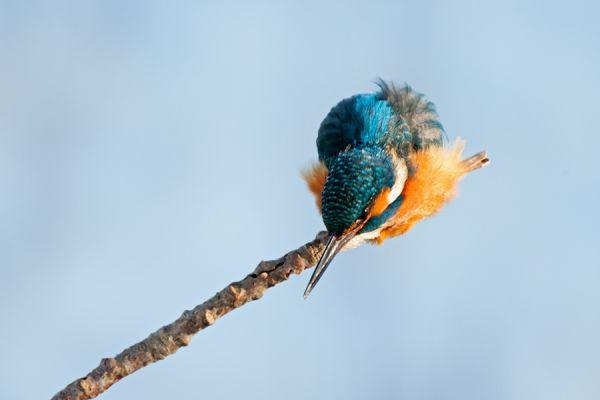 ijsvogel-common-kingfisher-alcedo-atthis-2-20141220-12182729175ABC2146-5860-7EA0-27A2-1EBDD60617BA.jpg