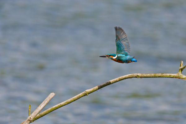ijsvogel-common-kingfisher-alcedo-atthis-20141220-1003230974B3B04ECC-6B0D-5DDF-6E69-6CE686D3E63A.jpg