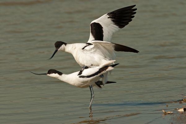 kluut-avocet-recurvirostra-avosetta-1-20141220-2069548283EABCCE1D-98D1-8933-2EB1-1839A8627B60.jpg