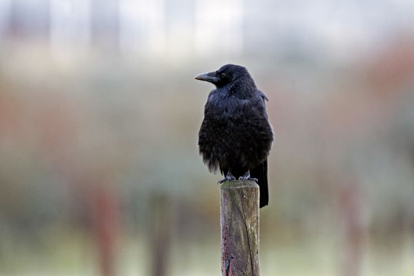 kraai-carrion-crow-corvus-corone-20141220-2082320501546F3960-165F-241B-86D5-C6D528085828.jpg