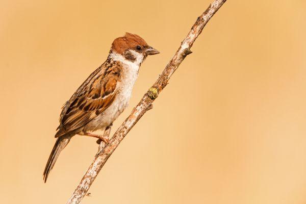 ringmus-tree-sparrow-passer-montanus-20141220-1870033640D41C6A3A-6D3C-B8AF-7208-0D2A1059B6A1.jpg