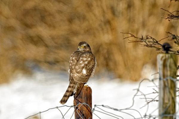 sperwer-deurasian-sparrowhawk-accipiter-nisus-20141220-15612826211FA22124-D399-9443-1943-3D2B8731709C.jpg