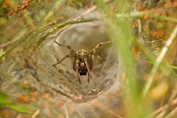 trechterspin-tunnel-weaver-spider-araneomorph-sp-20141220-127194994368BB1009-0A19-1723-CB0D-3ECA64C425CE.jpg