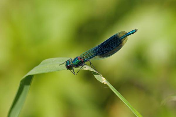 weidebeekjuffer-bandid-demoselle-calopteryx-splendens-20141220-182932896128ED6D7B-C6B6-9E8E-C2DB-93372AA56A51.jpg