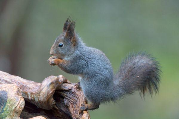 eekhoorn-red-squirrel-sciurus-vulgaris-20141219-10177810182A923C75-FCF5-E743-C28F-7DCBC93CB13C.jpg