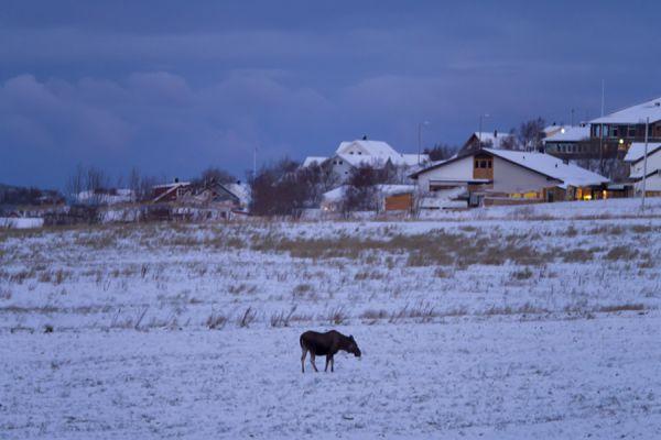 eland-eurasian-elk-alces-alces-20141219-160019627292C978E2-EB57-4215-C40C-A5BD7DE04A78.jpg