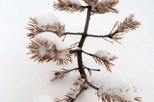 jonge-den-in-de-sneeuw-young-pine-in-the-snow-20141219-10049957408EB4C0AC-29A8-2497-6FA0-7A6474E9A2FD.jpg