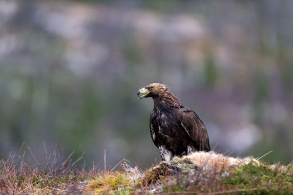 steenarend-golden-eagle-aquila-chryssaetos-10-20141219-1832167036EF6118C5-754B-CA13-A178-FEF13486CDFF.jpg