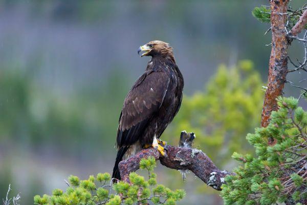 steenarend-golden-eagle-aquila-chryssaetos-13-20141219-1205456814684AE323-FD95-BBCE-66F7-E65648731267.jpg