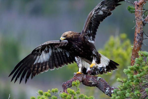 steenarend-golden-eagle-aquila-chryssaetos-14-20141219-15336104174613B47A-C133-6DA4-5EA5-5FFA5E6B66ED.jpg