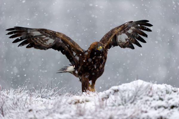 steenarend-golden-eagle-aquila-chryssaetos-15-20141219-15790580475F12F01A-4B30-4BAE-4A0C-72C1549E855F.jpg