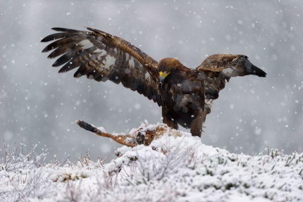 steenarend-golden-eagle-aquila-chryssaetos-16-20141219-10140963744E2DCE60-A9F7-6236-5CC1-A33F9C59673D.jpg