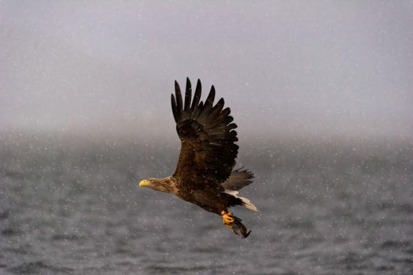 steenarend-golden-eagle-aquila-chryssaetos-19-20141219-1211689821BAAF6200-C9DE-47A3-ECB4-81D305F2FCE9.jpg