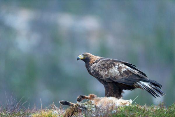 steenarend-golden-eagle-aquila-chryssaetos-20141219-18333194873169EB3F-5B62-5FC5-32D0-38E435D865A9.jpg