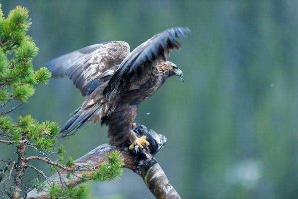 steenarend-golden-eagle-aquila-chryssaetos-3-20141219-20936998240D6406F4-2C99-DC64-1AC8-8FC860153247.jpg