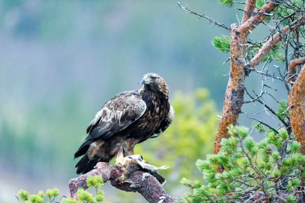 steenarend-golden-eagle-aquila-chryssaetos-4-20141219-168977287551E24F84-429D-AB06-A581-A42FD6F7EE1D.jpg