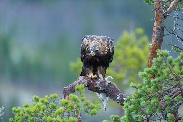 steenarend-golden-eagle-aquila-chryssaetos-6-20141219-1117959709F59B8142-0FA0-FAE2-5AC2-E505ACF615F1.jpg
