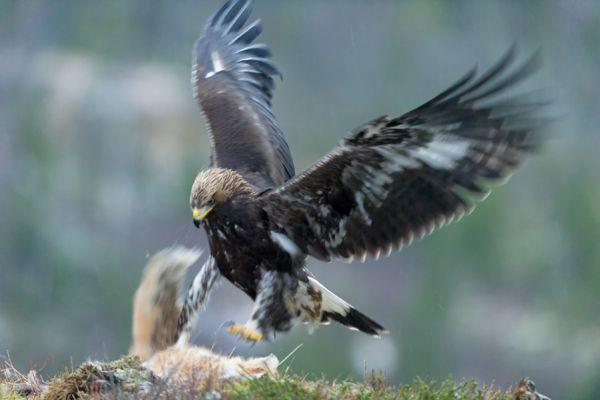 steenarend-golden-eagle-aquila-chryssaetos-8-20141219-1273195539BCCE1706-B0BE-CD63-8E35-AEA7001C617E.jpg