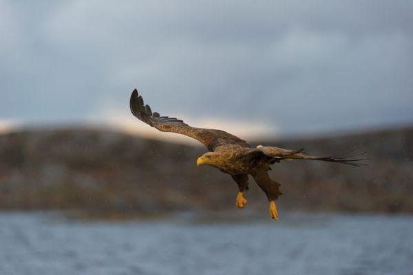 zeearend-white-tailed-eagle-haliaeetus-albicilla-1-20141219-12720069941CBC2734-D3EA-F22F-D3A2-548F8E9EB1A0.jpg