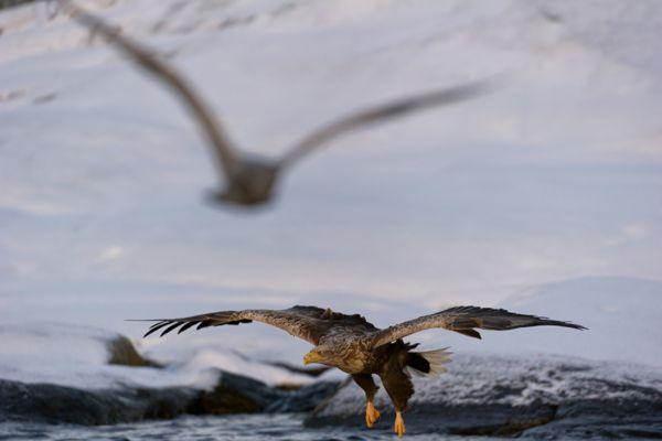 zeearend-white-tailed-eagle-haliaeetus-albicilla-10-20141219-18420235125D7DB4FB-39EF-2CB9-4035-30826507D7B5.jpg