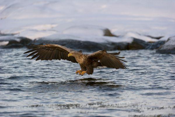 zeearend-white-tailed-eagle-haliaeetus-albicilla-11-20141219-200766963114FC00E8-37E8-2C95-C55F-20CEF6899E61.jpg