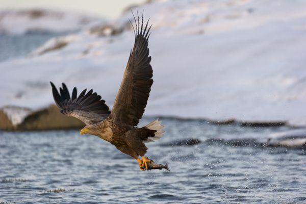 zeearend-white-tailed-eagle-haliaeetus-albicilla-14-20141219-209721192830909477-0FC9-1ACA-0B49-ED7AD86534A4.jpg