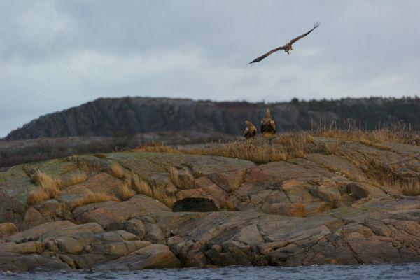 zeearend-white-tailed-eagle-haliaeetus-albicilla-2-20141219-1495297076C1CEB6E5-1F9E-10A1-3100-56DC671385D1.jpg