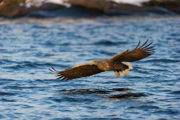 zeearend-white-tailed-eagle-haliaeetus-albicilla-20141219-1683947329B4A8372C-4E0C-CCEA-405E-9624DB40D92D.jpg