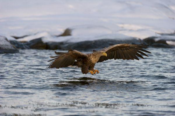 zeearend-white-tailed-eagle-haliaeetus-albicilla-4-20141219-1210541067A8E664FC-0855-F16E-2A72-38C24AF45C48.jpg