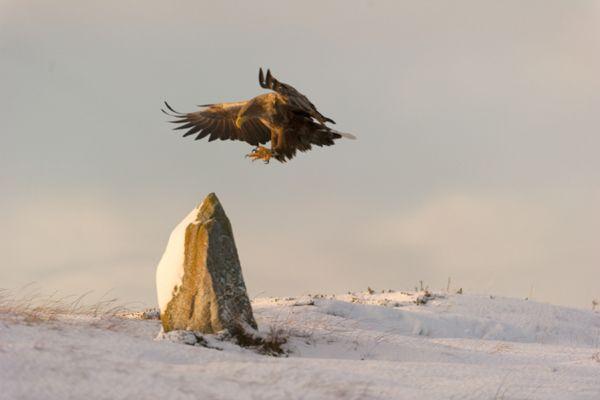 zeearend-white-tailed-eagle-haliaeetus-albicilla-41-20141219-1990485568042E2624-F810-470D-0866-6B031FE01363.jpg