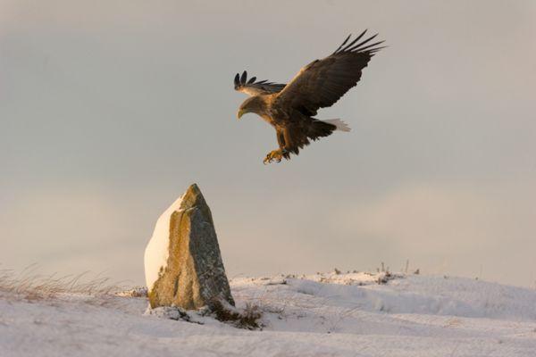 zeearend-white-tailed-eagle-haliaeetus-albicilla-43-20141219-2073106469CF1877CB-38CE-088E-E707-DACA2BEDC3F1.jpg