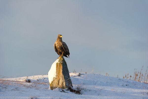 zeearend-white-tailed-eagle-haliaeetus-albicilla-44-20141219-1676676225116D5BE3-BE06-0A69-7F06-C1F723018FB2.jpg