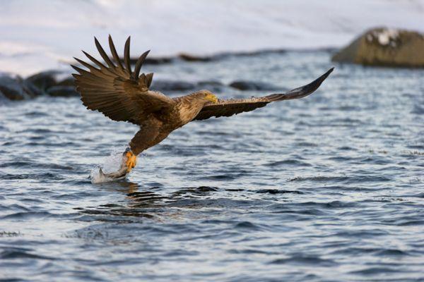 zeearend-white-tailed-eagle-haliaeetus-albicilla-5-20141219-1852301012EC5060DE-18F9-7741-27E8-443D3D0D65CB.jpg