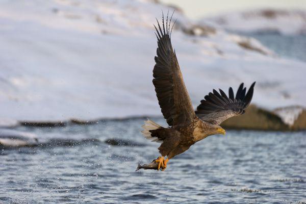 zeearend-white-tailed-eagle-haliaeetus-albicilla-6-20141219-16803543529486C75F-2D50-9974-457F-246946D06839.jpg