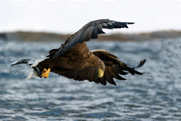 zeearend-white-tailed-eagle-haliaeetus-albicilla-7-20141219-14645816734AE007B6-A407-28B8-1798-389E6A29D26A.jpg