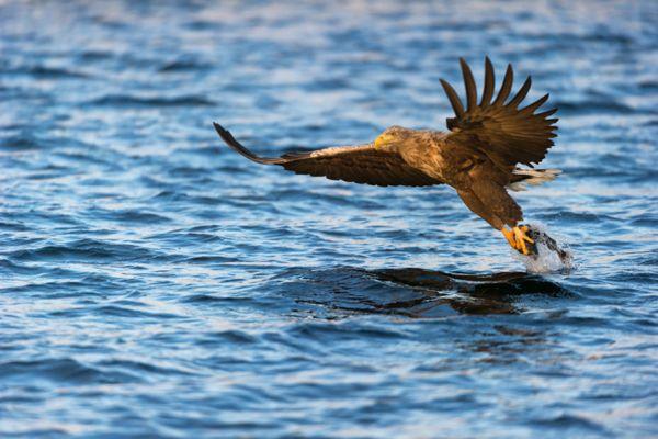zeearend-white-tailed-eagle-haliaeetus-albicilla-8-20141219-14704273171DEFCC8D-8016-8E69-9E8F-5E114839E374.jpg