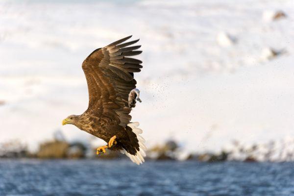zeearend-white-tailed-eagle-haliaeetus-albicilla-9-20141219-136018369183700517-D029-F41B-5B27-C64C96FD5E7E.jpg