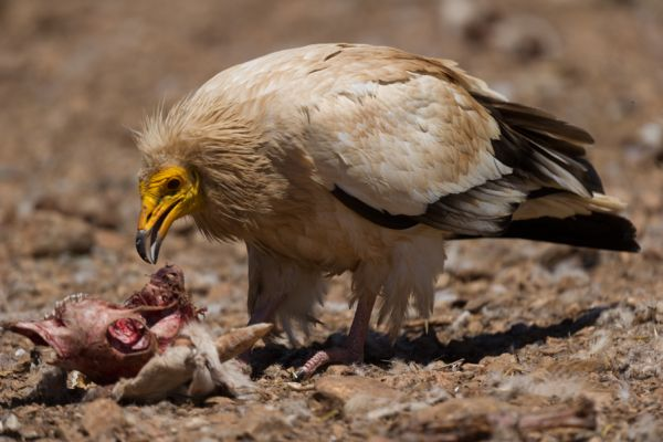 aasgier-egyptian-vulture-neophron-percnopterus-1562671F8-DBF9-8BBE-FA25-02E6624CC383.jpg