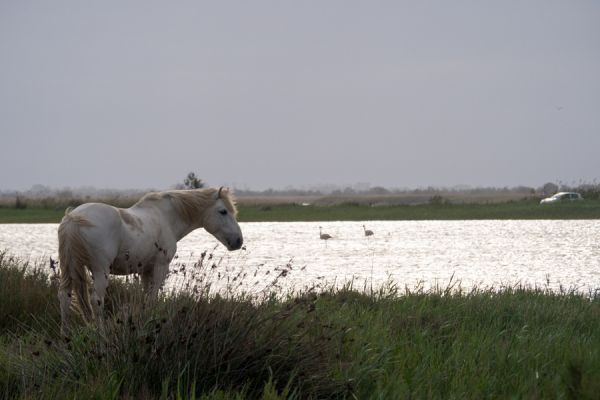 camargue-wild-paard-camargue-wild-horse-20141219-143594826243D8E49F-AF9C-A833-24E2-836AC569F1CE.jpg