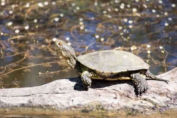 europese-moerasschildpad-european-pond-turtle-emys-orbicularis-20141219-20841930895AD9CE65-7D0C-E9F0-79DD-0E64B4680D5C.jpg