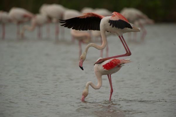 flamingo-greater-flamingo-phoenicopterus-ruber-1-20141219-16868271640BA103D4-1F15-F746-C4C9-01F48F72B0B4.jpg